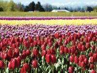 Skagit Valley Tulip Festival 郁金香节攻略