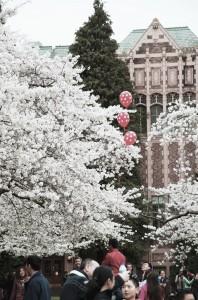uw cherry blossom