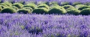 Lavender6h