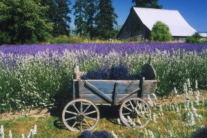 Olivers Lavender Farm