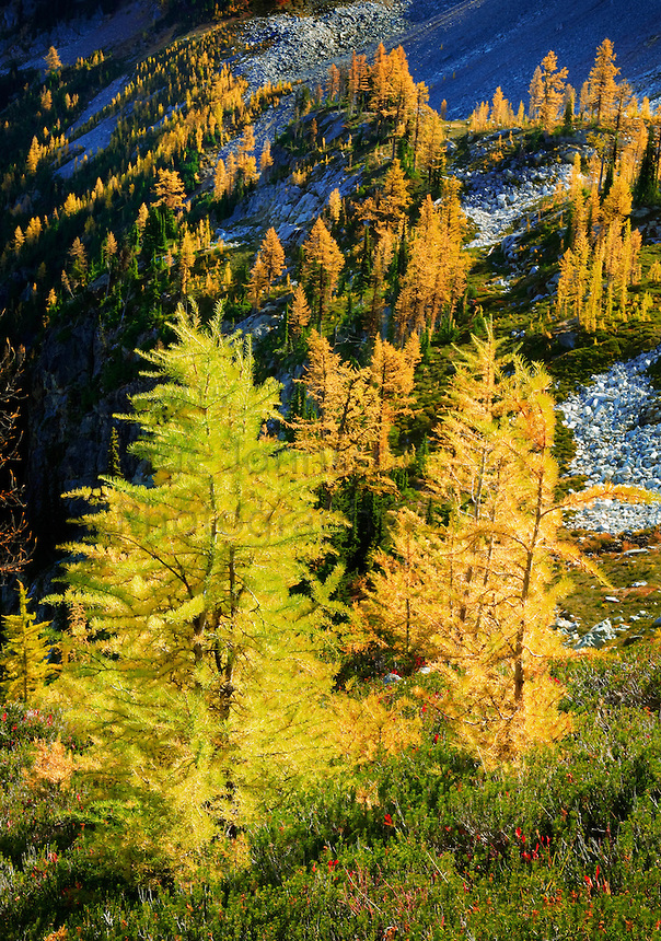 Mountain Larches at Maple Pass in North Cascades National Park