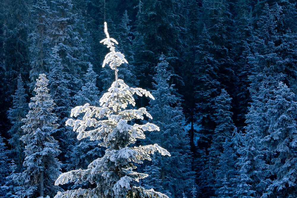 Landscape: Frost on treesin the shade on a sunny day, Wenatchee National Forest, Central Cascades, Washington