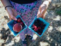 擁有可愛向日葵和藍莓的神仙農場